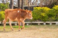 Becerro joven de la vaca que camina en la tierra imagen de archivo
