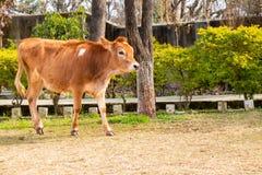 Becerro joven de la vaca que camina en la tierra imagenes de archivo