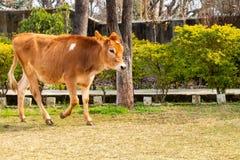 Becerro joven de la vaca que camina en la tierra fotos de archivo libres de regalías