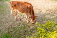 Becerro joven de la vaca que come la hierba en la tierra imágenes de archivo libres de regalías