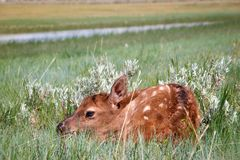 Becerro joven de los alces que oculta en pasto herboso fotos de archivo libres de regalías