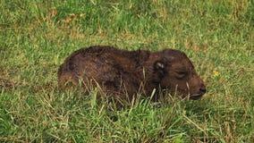 Becerro joven del bisonte que miente en hierba metrajes