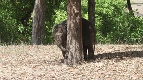 Becerro joven del elefante que juega en selva almacen de metraje de vídeo