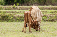 Becerro juguetón con la vaca imagenes de archivo