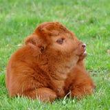 Becerro lindo del ganado de la montaña Imagen de archivo