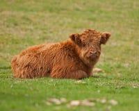 Becerro lindo del ganado de la montaña que se acuesta Fotografía de archivo libre de regalías