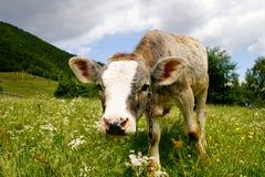 Becerro lindo que se coloca en campo verde Fotografía de archivo