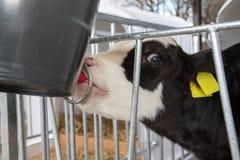 Becerro que bebe en establo en granja imagenes de archivo