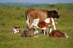Becerro que introduce con leche Fotografía de archivo libre de regalías