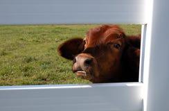 Becerro que mira con fijeza fuera de una cerca Imagenes de archivo