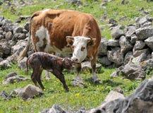 Becerro recién nacido Fotografía de archivo