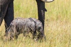 Becerro recién nacido del elefante Foto de archivo libre de regalías