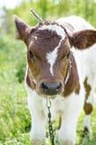 Becerro, retrato de una pequeña vaca Imágenes de archivo libres de regalías
