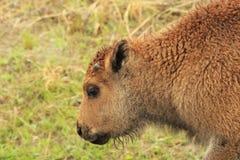 Becerro rojo del búfalo Imagen de archivo