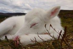 Becerro soñoliento del reno en Escocia Imágenes de archivo libres de regalías