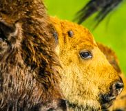 Becerro y mamá, parque nacional de la isla de los alces, Alberta, Canadá del bisonte Imagen de archivo libre de regalías