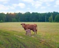 Becerro y vaca fotografía de archivo libre de regalías
