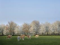 Becerros de d rubia ?Aquitania en prado verde con los ?rboles florecientes blancos de la primavera fotografía de archivo libre de regalías