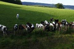 Becerros de la carne de vaca Imagen de archivo libre de regalías