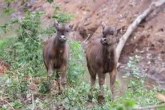 Becerros del bisonte en bosque Foto de archivo