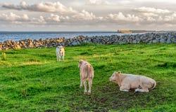 Becerros en hierba verde en Irlanda fotografía de archivo libre de regalías