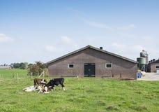 Becerros en prado cerca de la granja en la provincia holandesa de Utrecht cerca del scherpenzeel y veenendaal Imágenes de archivo libres de regalías