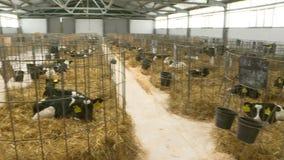 Becerros en una ganadería Los becerros jovenes en células individuales quarantined Bajo condiciones estéril almacen de metraje de vídeo