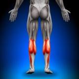 Becerros - músculos de la anatomía Imágenes de archivo libres de regalías