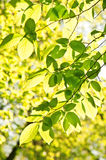 Bech leaves. Green bech leaves in the photo Royalty Free Stock Images