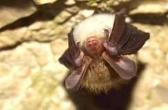 Bechstein的棒(Myotis bechsteinii) 图库摄影