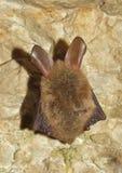 Bechstein's bat (Myotis bechsteinii) Stock Image