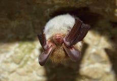 Bechstein's bat (Myotis bechsteinii) royalty free stock images