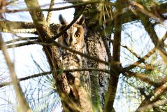 Bechsteini owl. Owl is a beautiful creature, they simply amazing Stock Images