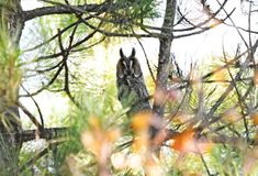 Bechsteini owl Royalty Free Stock Photo