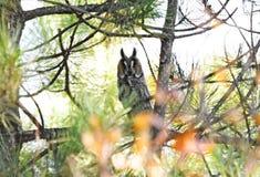 Bechsteini sowa Zdjęcie Royalty Free