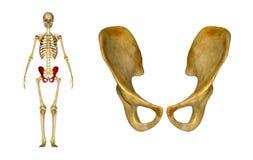 Becken- (Hüften) Gürtel stock abbildung