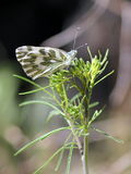 Becker's White Butterfly - Pontia beckerii Royalty Free Stock Photo