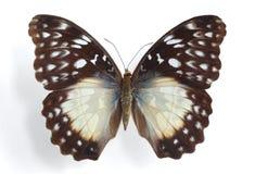 Beckeri de Cymothoe (fêmea) Fotografia de Stock