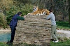 BECKESBOURNE, KENT/UK - 13. MÄRZ: Zwei Männer im sibirischen Tiger (PA Stockbild