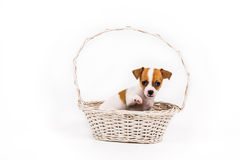 Beckoning chihuahua puppy sitting in a basket royalty free stock images
