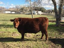 Becky with the good hair. Cow in Spring Mountain Ranch State Royalty Free Stock Photography