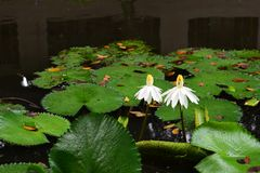 White Aquatic Flower and Plant - A Life Partner stock photo