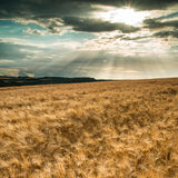 Bedöva bygd landskap vetefältet i sommarsolnedgång Arkivfoton