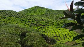 Bedöva Cameron Highlands Malaysia Tea Plantation Royaltyfria Bilder