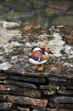 Bedöva den färgrika manliga mandarinanden arkivfoton