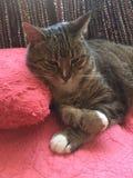 Bedöva den fluffiga manliga diabetiska pensionären Cat Model Resting Fotografering för Bildbyråer