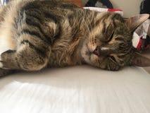 Bedöva den fluffiga manliga diabetiska pensionären Cat Model Resting Arkivfoton