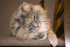Bedöva den långa haired katten Royaltyfri Bild