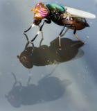 Bedöva den mång- kulöra flugan ovanför dubbla Reflectioin Arkivfoton
