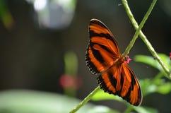 Bedöva den orange och svarta eken Tiger Butterfly i natur Royaltyfria Foton